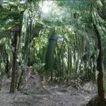 La bambousaie à la source du ruisseau Pam qui se jette dans l'Adour